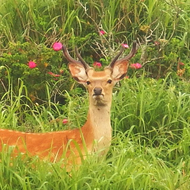 鹿とハマナス 野付半島