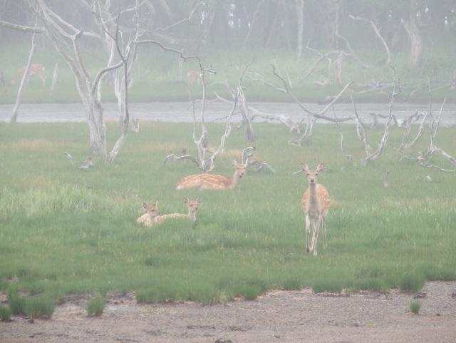 朝もやの鹿家族  野付半島