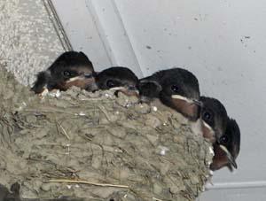 ツバメの巣と雛