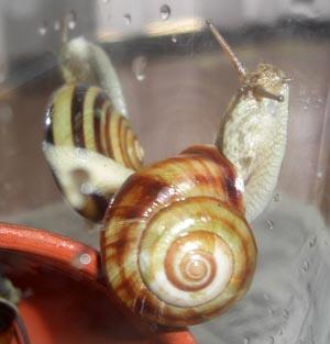 カタツムリの交尾 交接