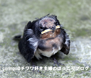 ツバメの雛