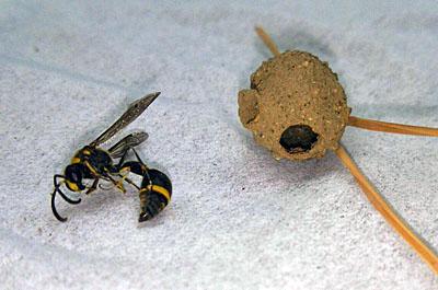 ミカドトックリバチと巣