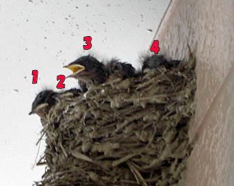 ツバメの雛 4羽