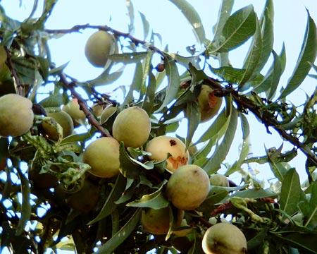隣の家の果実