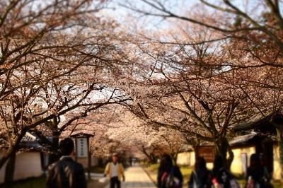 桜 029 - コピー.JPG