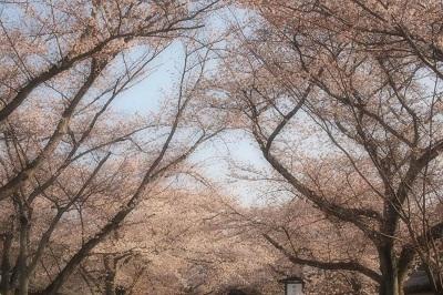 桜 043 - コピー.JPG