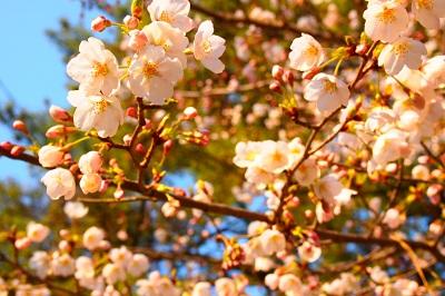 桜 046 - コピー.JPG