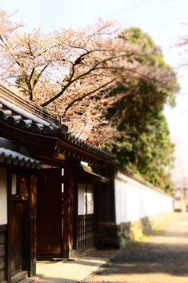 桜 082 - コピー.JPG