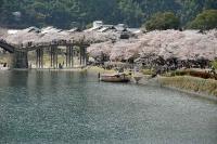 錦帯橋満開