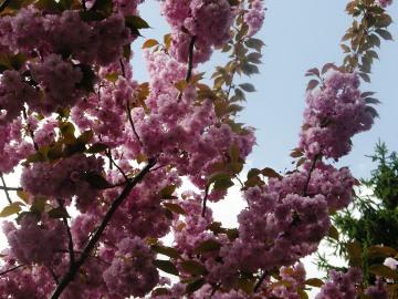 H公園の八重桜
