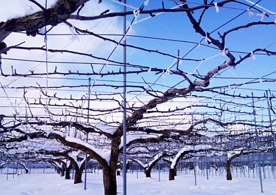 梨畑、積雪30cm
