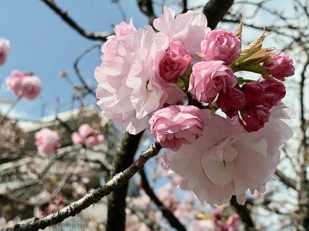 桜キレイね