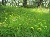 黄色のつる草