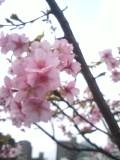 090215_sakura.jpg