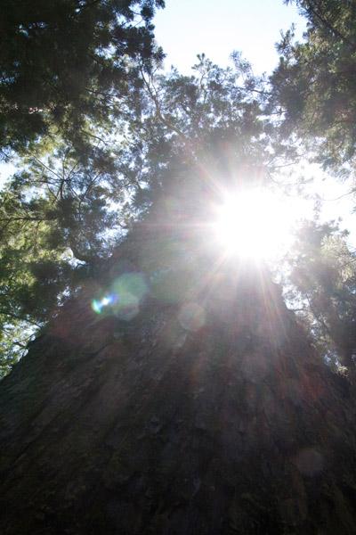 伊勢神宮 大木と光