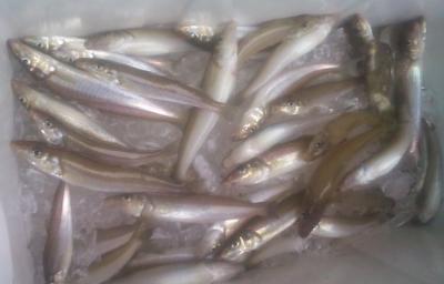 福岡県糸島市でのキス釣りの画像