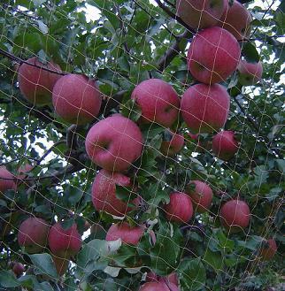 鈴なりりんご