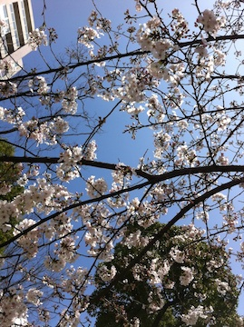 桜川公園の桜