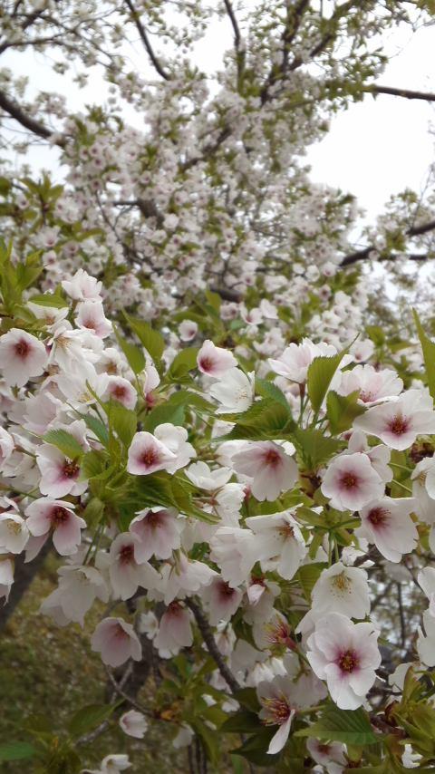 150407_1546お花見散歩♪大島桜満開.jpg