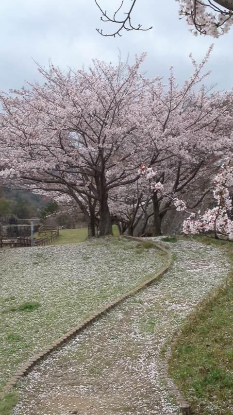 150407_1551ソメイヨシノ満開&花弁絨毯.jpg
