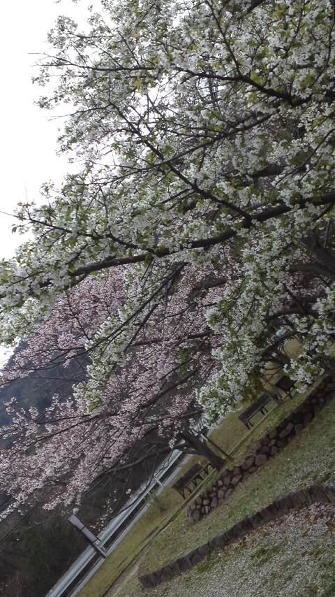 150407_1557ピンクのソメイヨシノ&白い大島桜♪.jpg