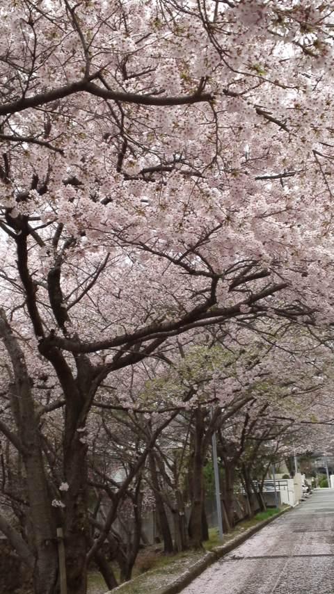 150407_1607ソメイヨシノ満開&花弁絨毯.jpg