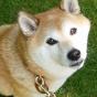 【BIRDIE迷子にならない夏休みお写真コンテスト】柴犬富士男