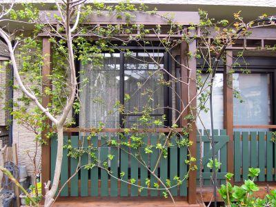 デッキ&パーゴラのバラ.jpg
