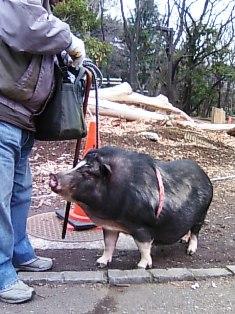 豚を連れて散歩.JPG