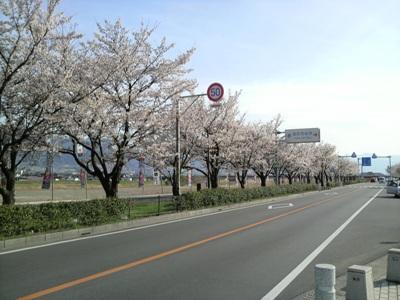 笛吹市役所前の桜