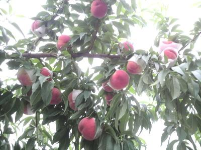 収穫期を迎えた桃