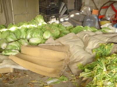 収穫した白菜のストック