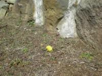 日本たんぽぽが、咲いています…