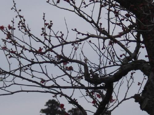 紅梅のつぼみが ひらくと共に、香りが漂ってきました …     春ですね …