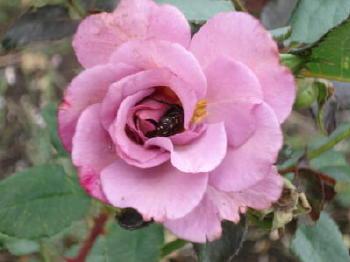 バラの花に