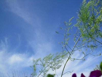 なん〜と  アスパラガスの ❀ 花だそうです。