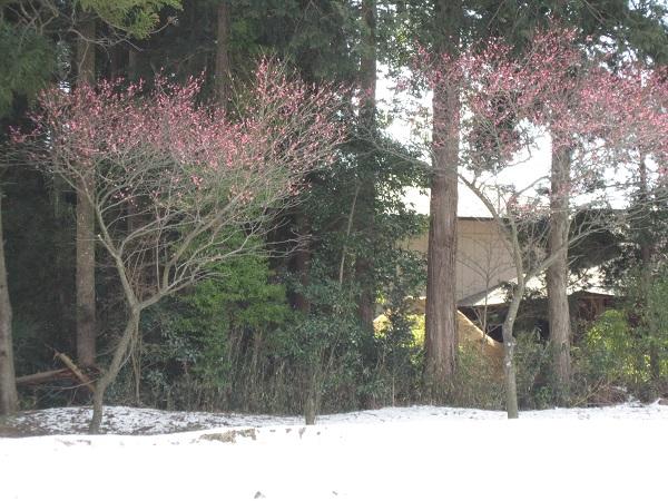 先日の雪がまだ残っていて、 寒そうに紅梅が咲いていました。