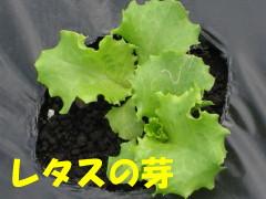 レタスの芽