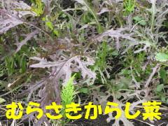紫からし菜