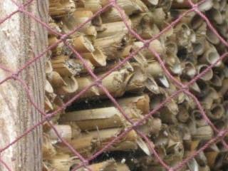 マメコバチの巣 2