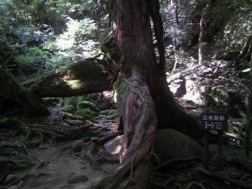 屋久島・三本足杉