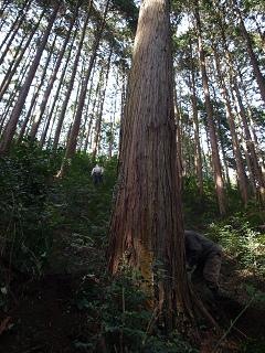 伐採する木