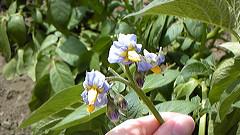 ジャガイモ「伯爵」の花