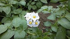 ジャガイモ「男爵」の花