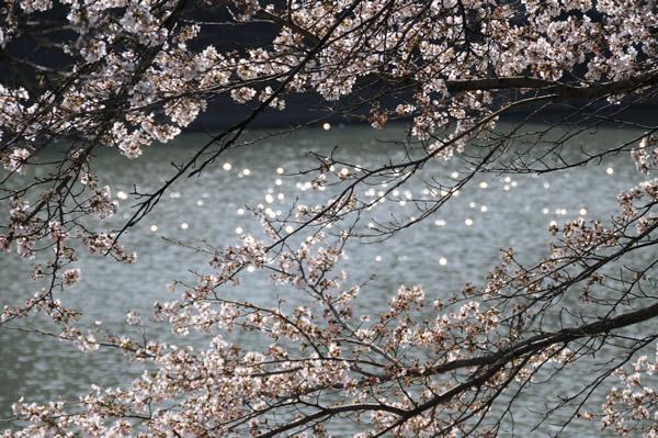 篠山で桜2