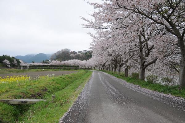 篠山で桜3