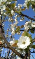 梨の開花1