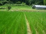 田んぼ除草