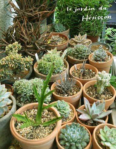 herissonの多肉植物.jpg