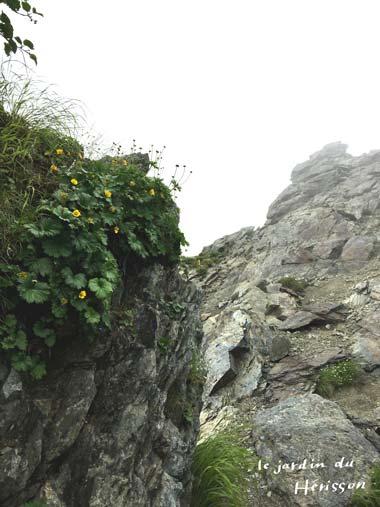 北岳 岩場の花.jpg